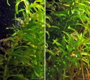 Uova di Axolotl deposte in mezzo all'egeria