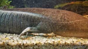 La regione cloacale è più gonfia negli Axolotl maschi