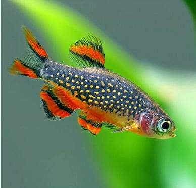 Danio Margaritatus-rasbora galaxy (male)