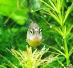 Food for Rasbora Galaxy