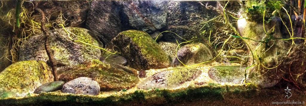 Ridente torrente di montagna - alghe più funzionali per i pesci