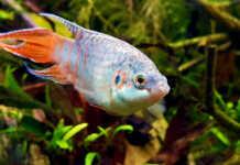 Macropodus opercularis, pesce del paradiso