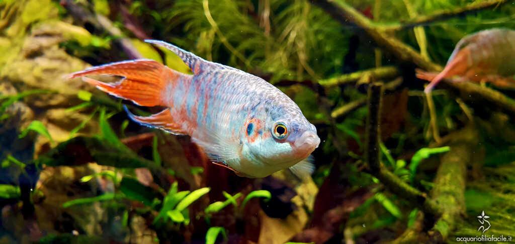 Macrodopus opercularis - Pesce del paradiso