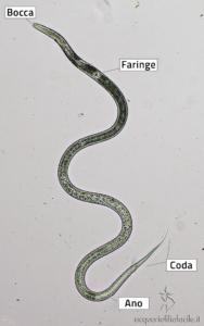 Turbatrix aceti al microscopio