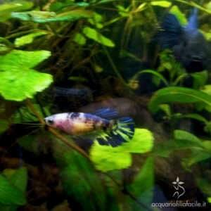 Betta in acquario