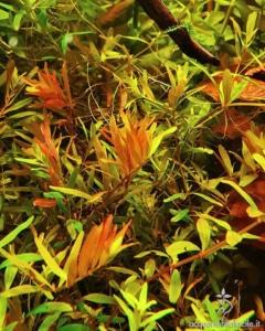 Dettaglio flora in acquario