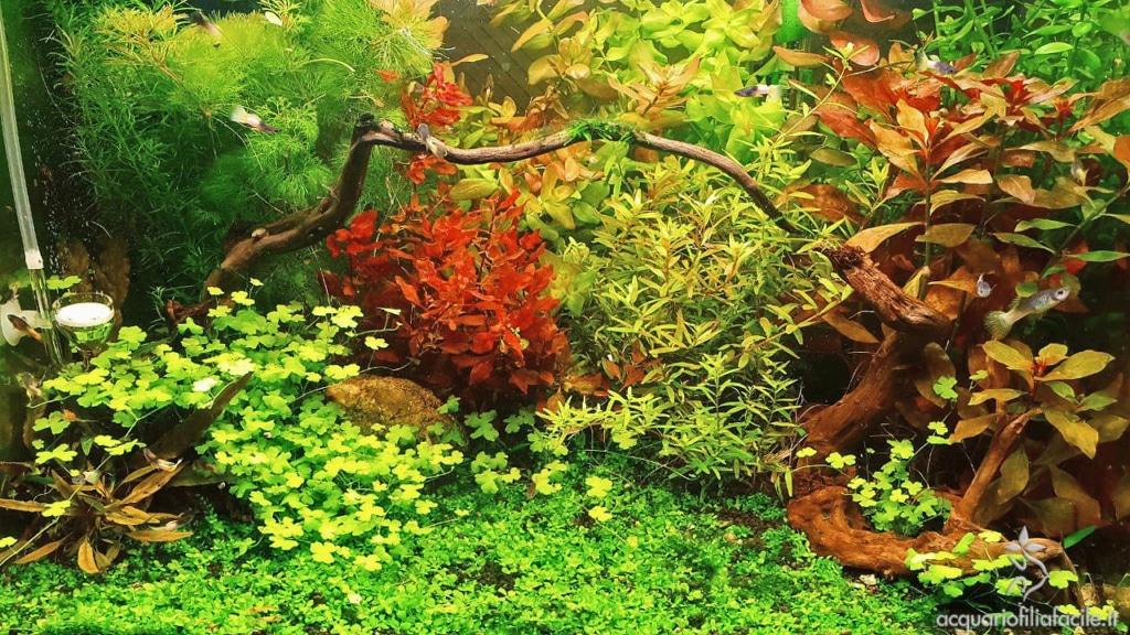 Interno acquario guppy e caridina
