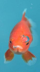 Pesce rosso (Carassius Auratus)