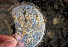 Cibo vivo: Grindal worms o Enchytraeus buchholzi