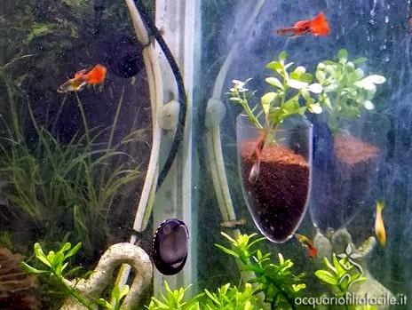 Potatura di Bacopa nel vaso da parete