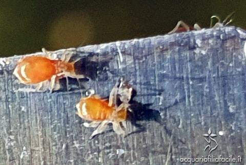 Afidi - insetti parassiti