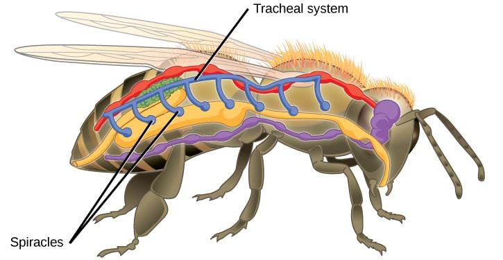 Anatomia interna degli insetti