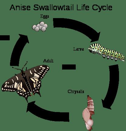 Ciclo vitale di una farfalla