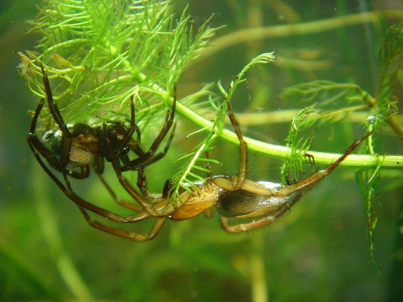 Coppia di Argyroneta aquatica - ragni palombari