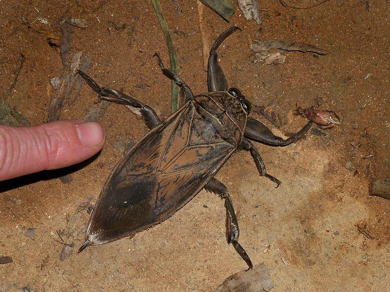 Belostomatidae Lethocerus oculatus - questi insetto raggiungono i 10 centimetri