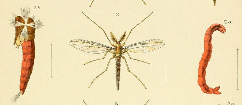Chironomus zealandicus - questi insetti rappresentano l'elemento d'elezione per molti pesci