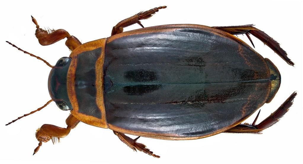 Dytiscus marginalis - Konrad Lorenz era rimasto molto affascinato da questi insetti