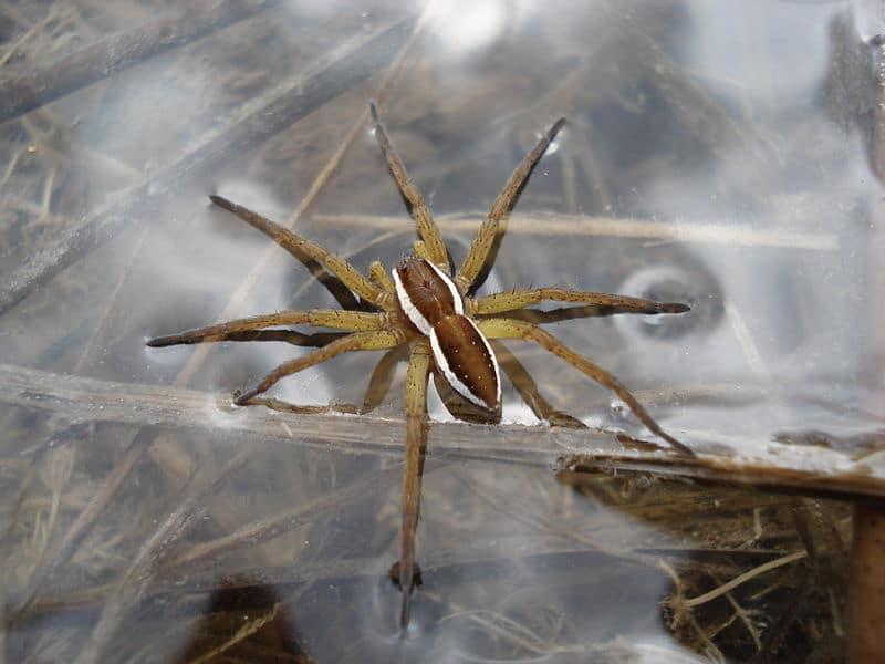 Dolomedes fimbriatus - ragni pescatori