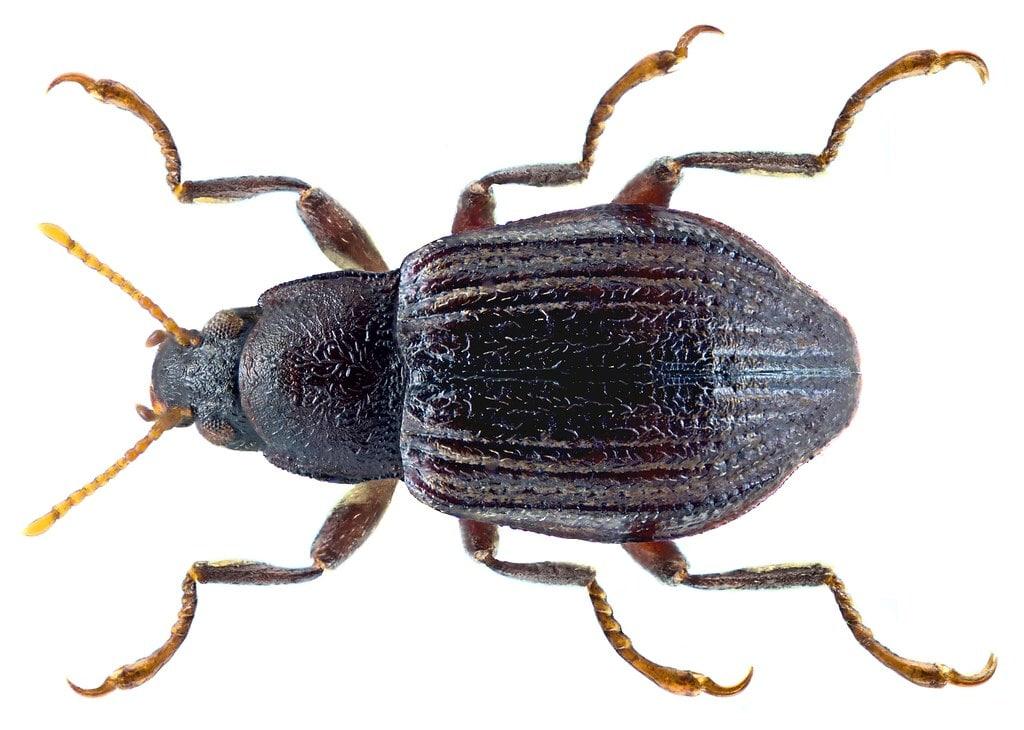 Elmidae Normandia nitens - insetti pascolatori