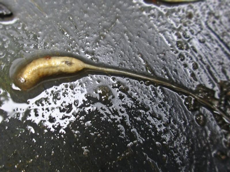 Larva di Eristalis sp.