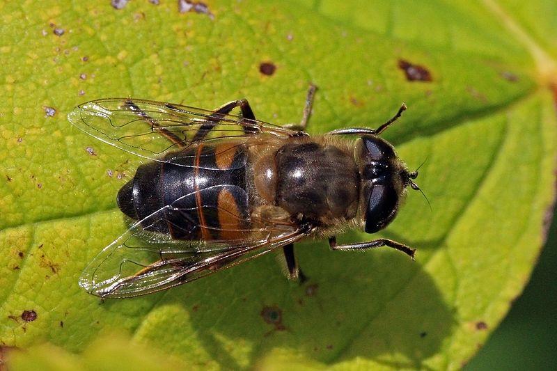Femmina di Eristalis tenax - questi insetti si nutrono di materia organica in decomposizione