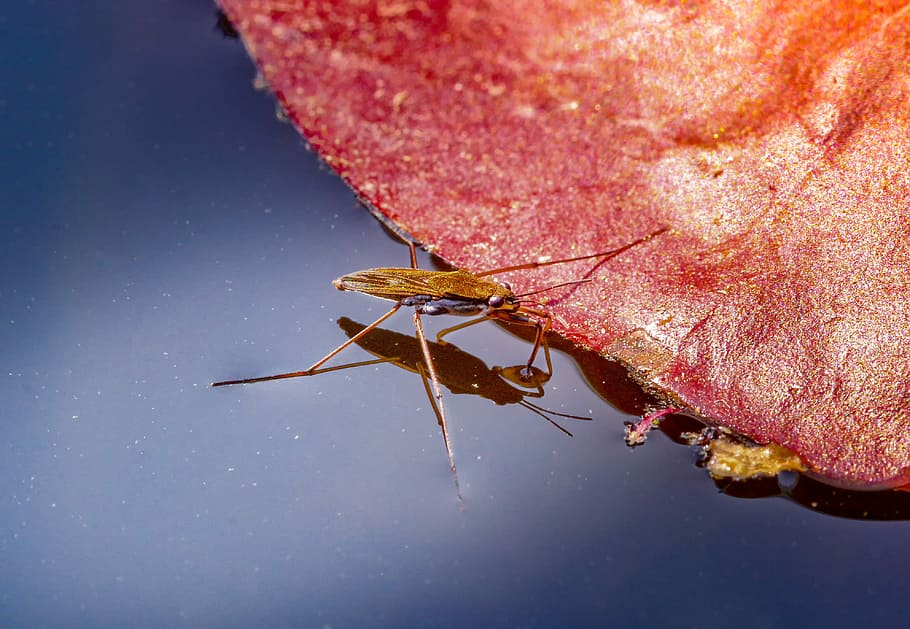 Gerride - insetti pattinatori