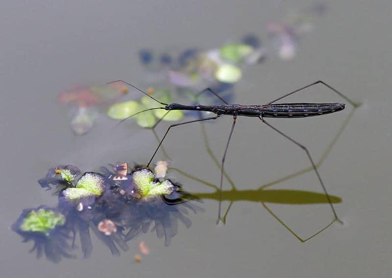 Hydrometra stagnorum - questi insetti camminano sull'acqua