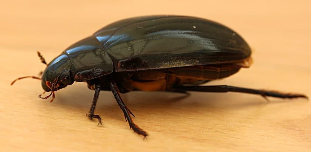 Hydrophilus piceus - insetti onnivori