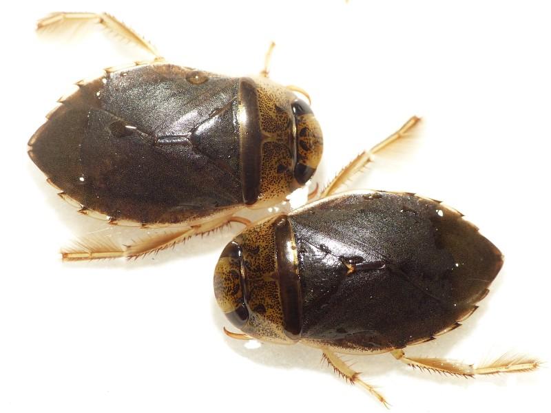 Naucoridae Ilyocoris cimicoides