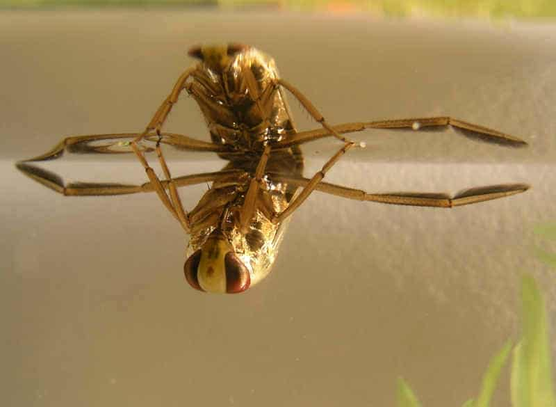 Notonecta glauca - per questi insetti il mondo è al rovescio