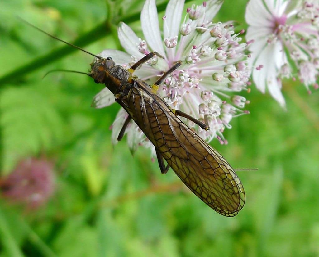 Pleocottero adulto - il ciclo di vita di questi insetti può superare i 4 anni