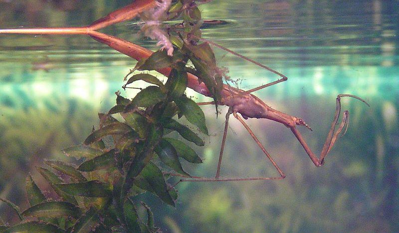 Ranatra linearis - questi insetti possono vivere in acquario