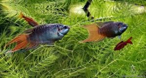 Macropodus opercularis nell'acquario di HCanon