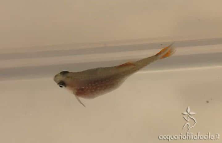 Pesce gonfio con bozzi, scambiato per idropisia