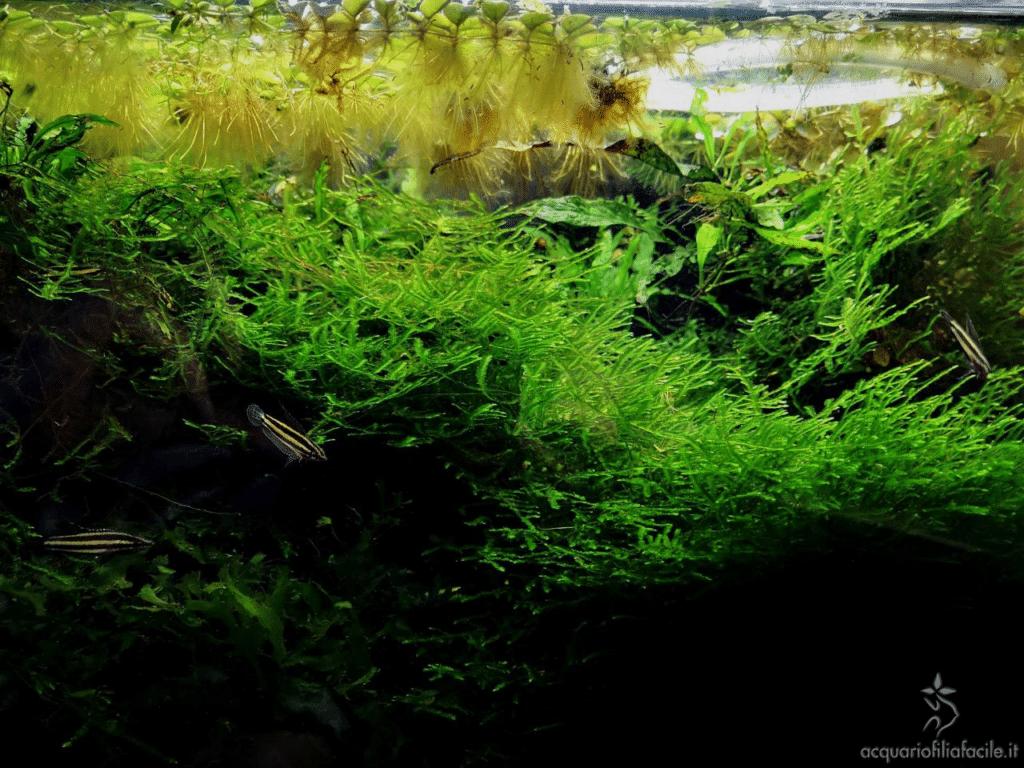 Acquario per i Parosphromenus o Gourami liquirizia