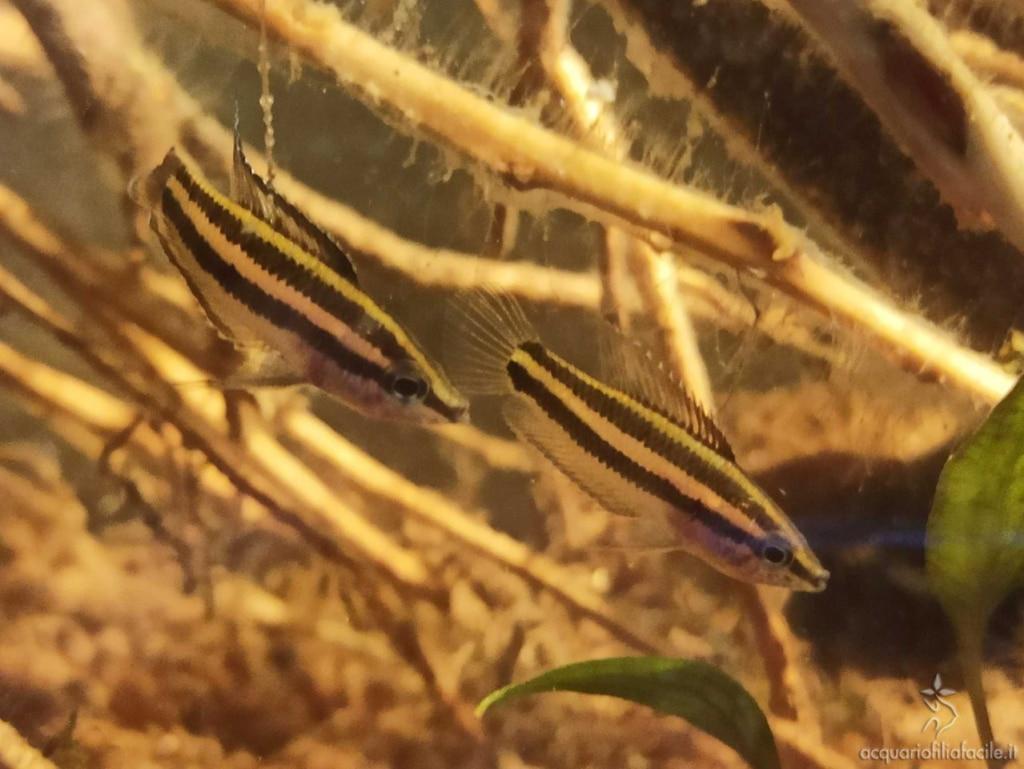 Parosphromenus - P. Filamentosus
