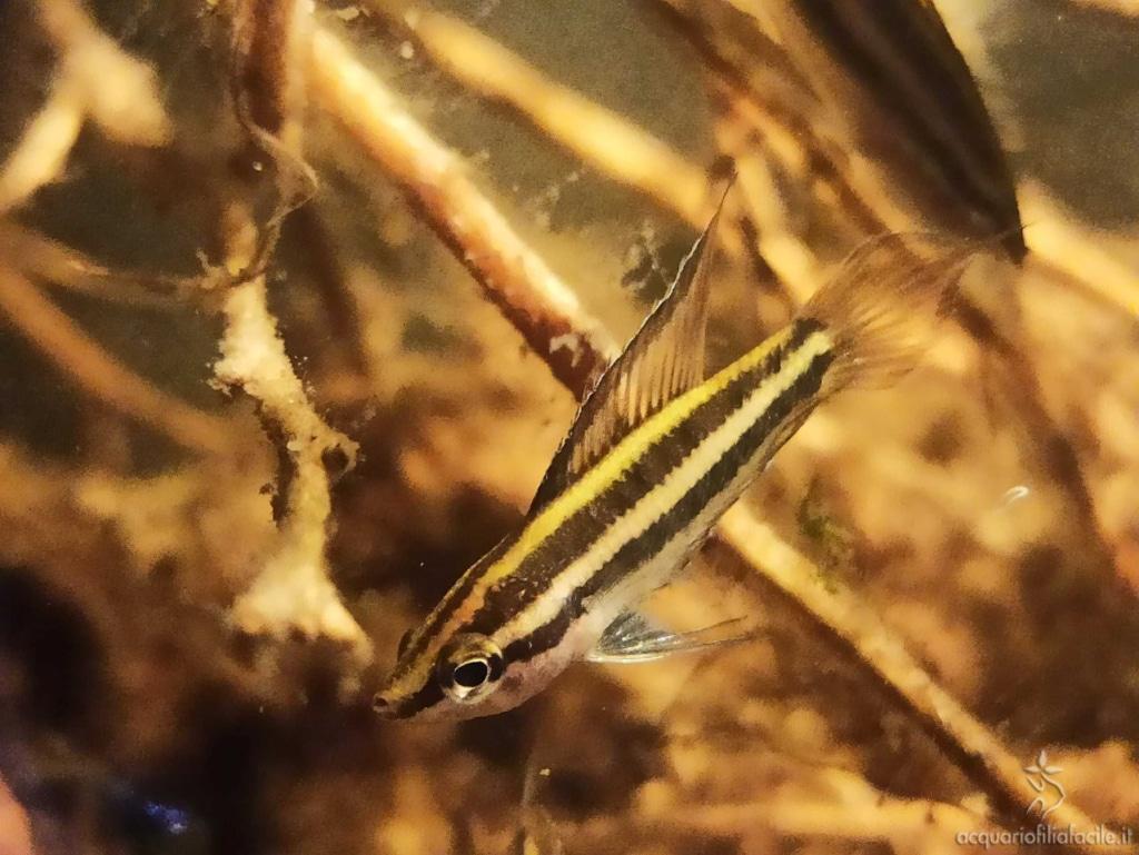 Parosphromenus - Maschio di P. Filamentosus
