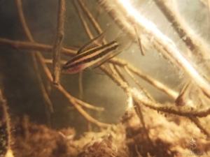 P. Filamentosus
