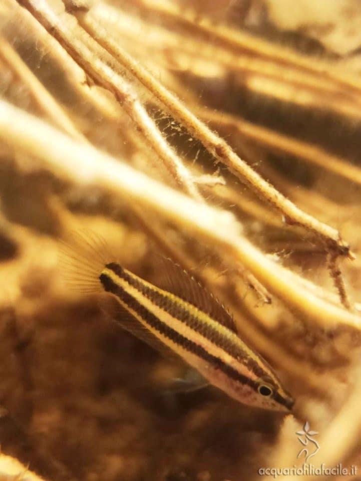 Parosphromenus - Femmina di P. Filamentosus