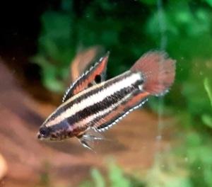 P. Sumatranus
