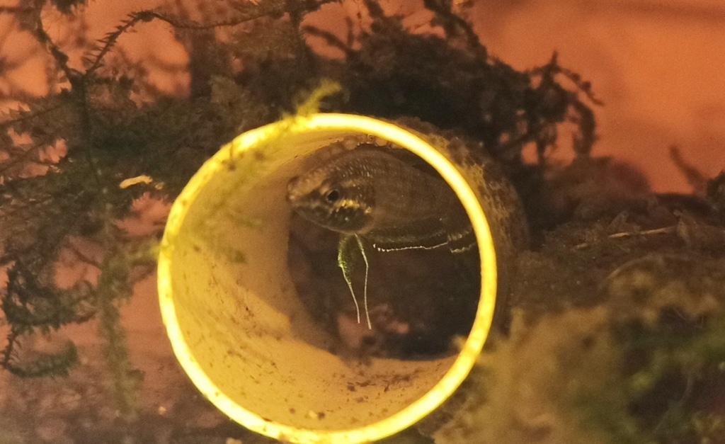 Parosphromenus - P. Gunawani maschio wild