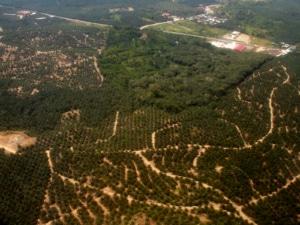 Deforestazione e impianto di palma da olio