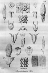 Dettaglio Fiore di Bucephalandra