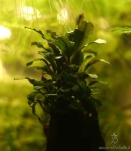 """Bucephalandra """"Lamandau Purple"""""""