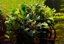 Bucephalandra, la regina del Borneo