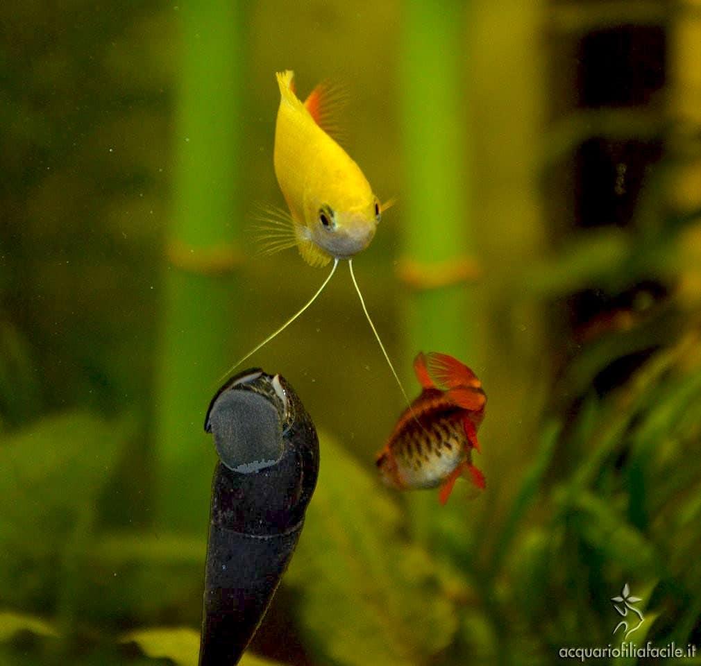 Compatibilità con i pesci delle Faunus ater