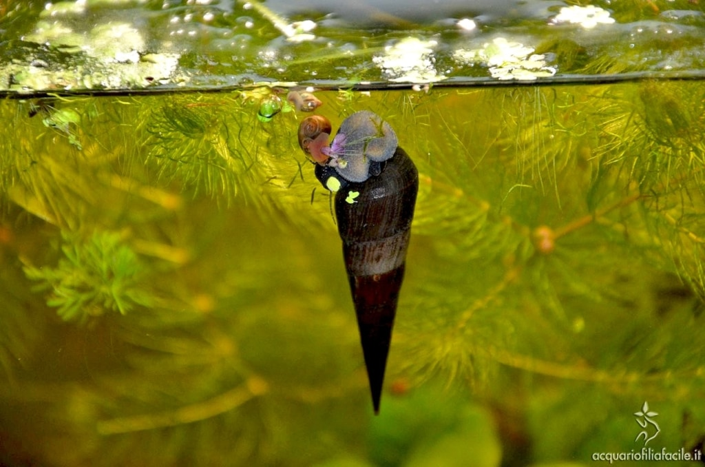 Faunus ater che mangia una piccola pianta galleggiante