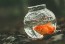 L'acquario per il pesce rosso (Carassius auratus)