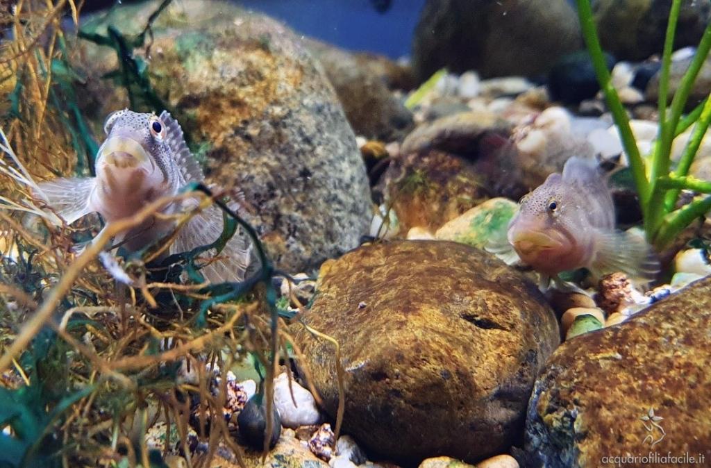 Maschio di Salaria fluviatilis che sorveglia la covata