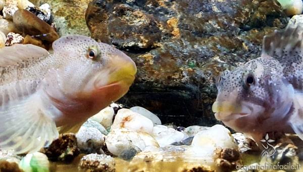 Maschio e femmina di Salaria fluviatilis